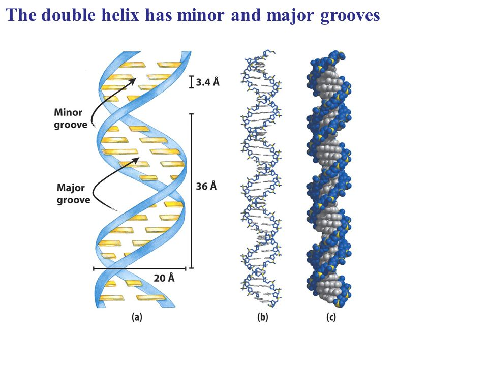 The double helix has minor and major grooves