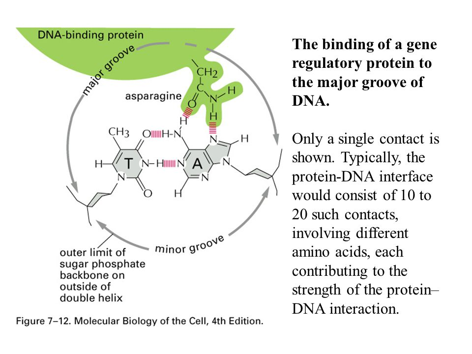 The binding of a gene regulatory protein to the major groove of DNA.