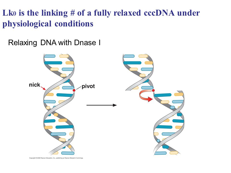 Lk0 is the linking # of a fully relaxed cccDNA under physiological conditions