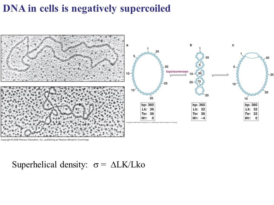 DNA in cells is negatively supercoiled