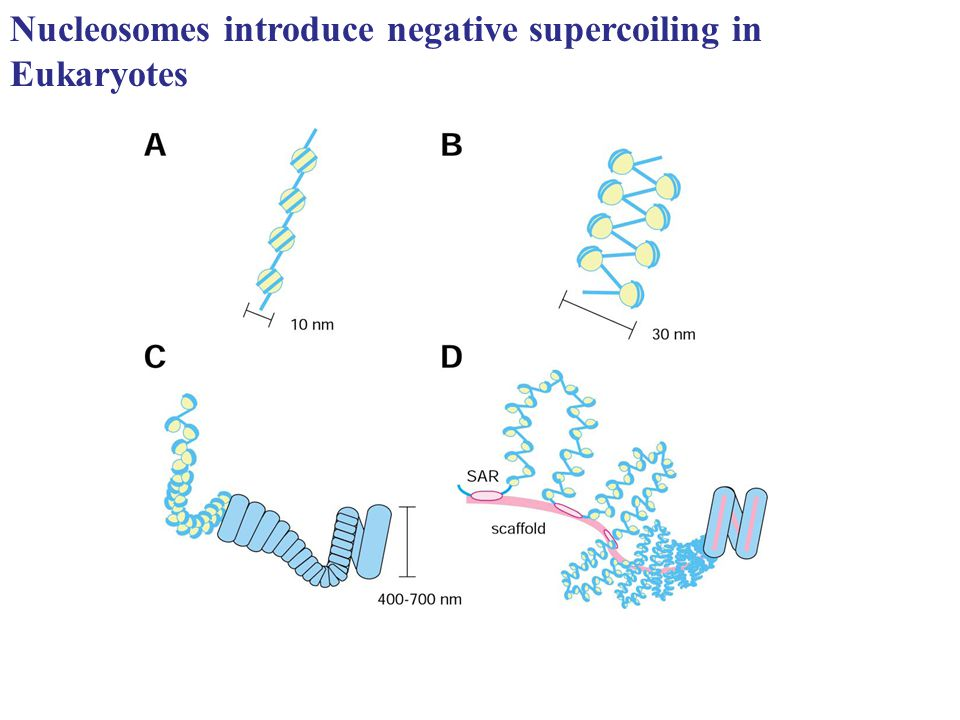Nucleosomes introduce negative supercoiling in Eukaryotes