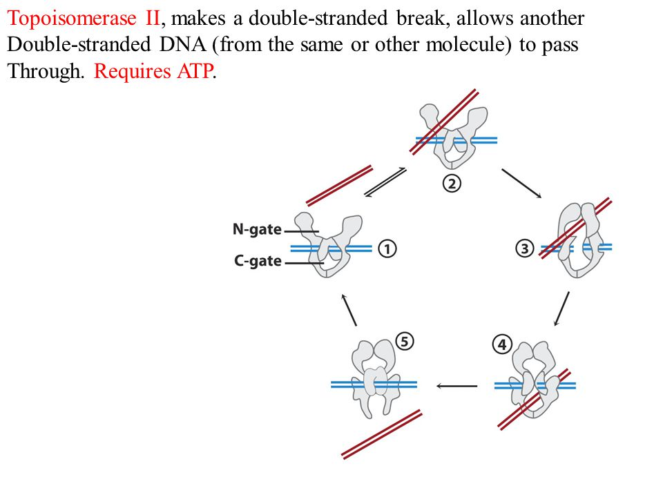 Topoisomerase II, makes a double-stranded break, allows another