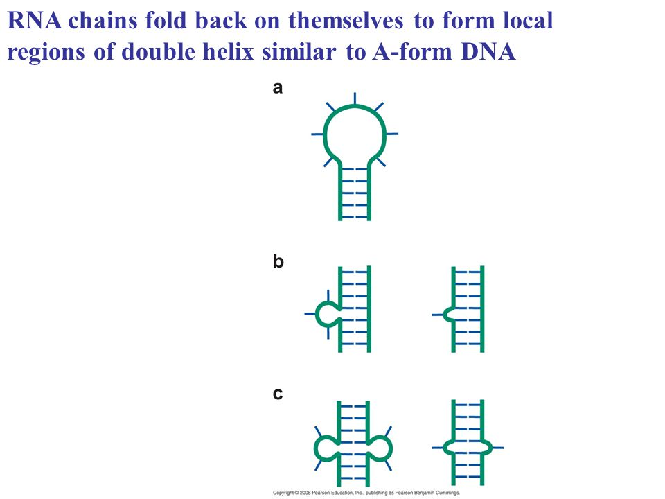 RNA chains fold back on themselves to form local regions of double helix similar to A-form DNA