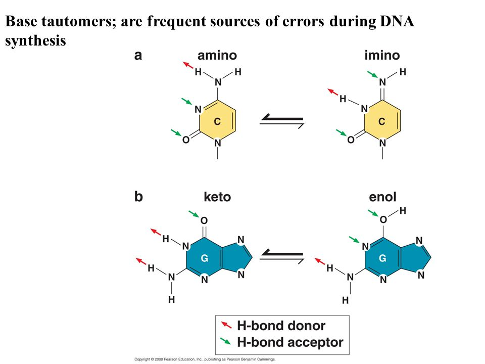 Base tautomers; are frequent sources of errors during DNA synthesis