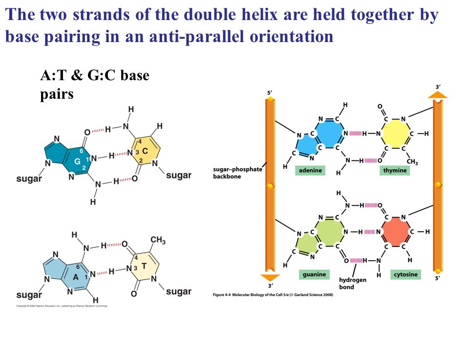 The two strands of the double helix are held together by base pairing in an anti-parallel orientation