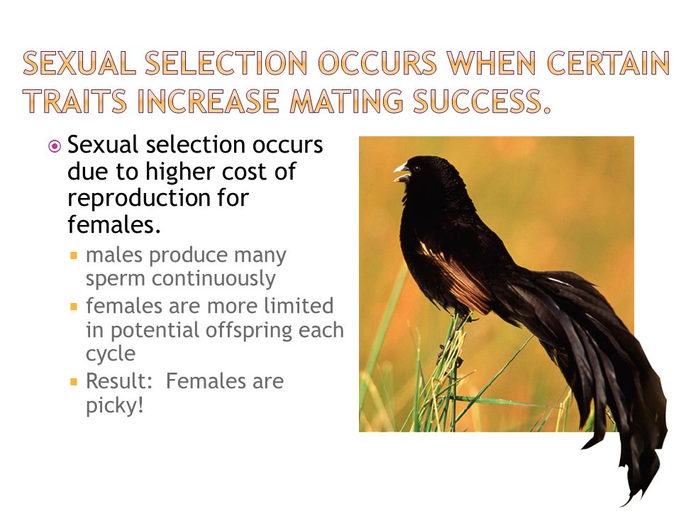 Sexual selection occurs when certain traits increase mating success.