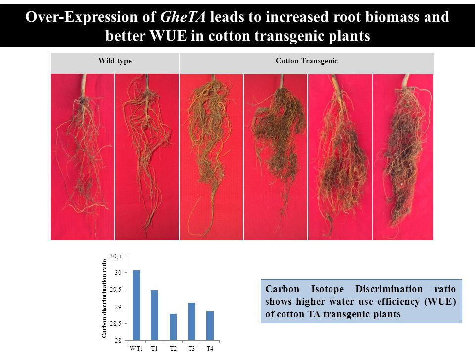 Over-Expression of GheTA leads to increased root biomass and better WUE in cotton transgenic plants