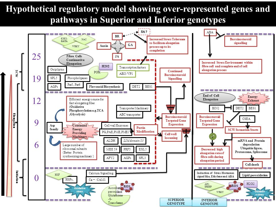 Hypothetical regulatory model showing over-represented genes and pathways in Superior and Inferior genotypes