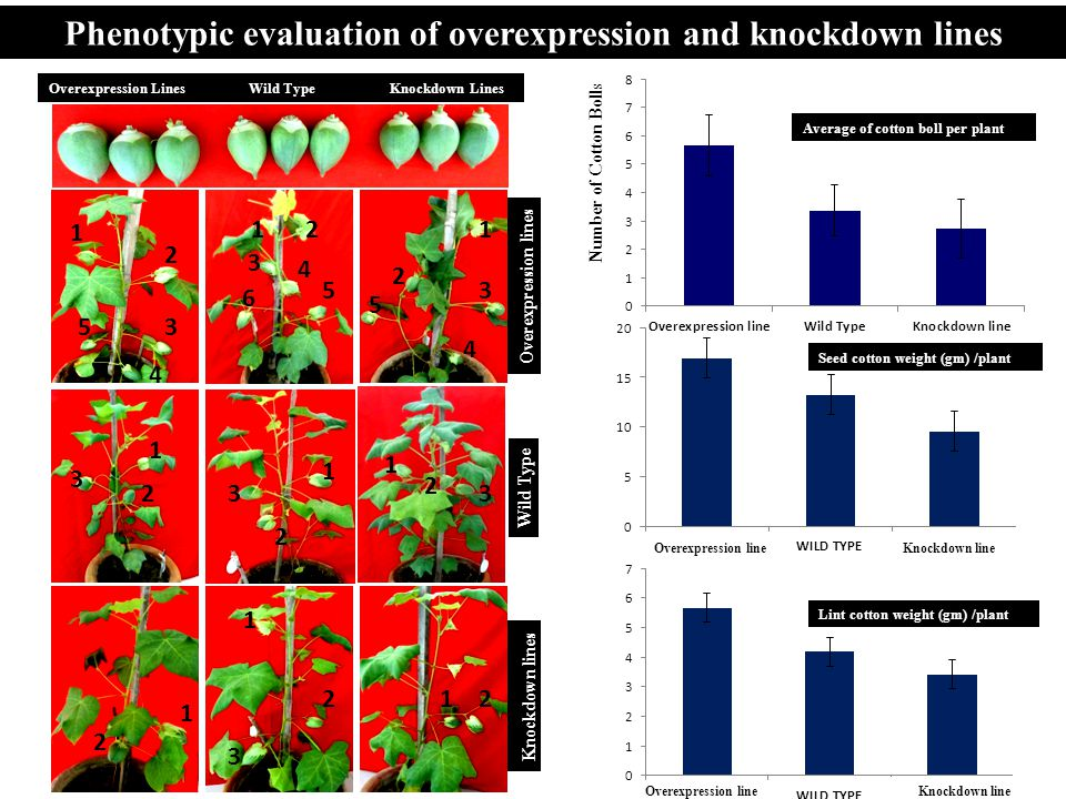 Phenotypic evaluation of overexpression and knockdown lines