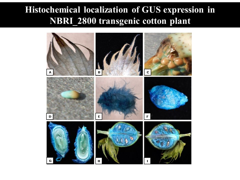 Histochemical localization of GUS expression in NBRI_2800 transgenic cotton plant