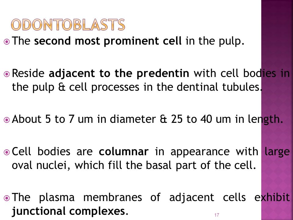 ODONTOBLASTS The second most prominent cell in the pulp.