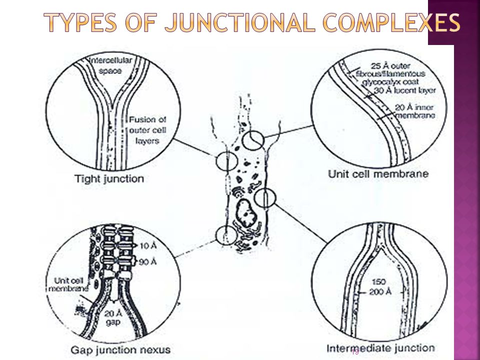 Types of junctional complexes