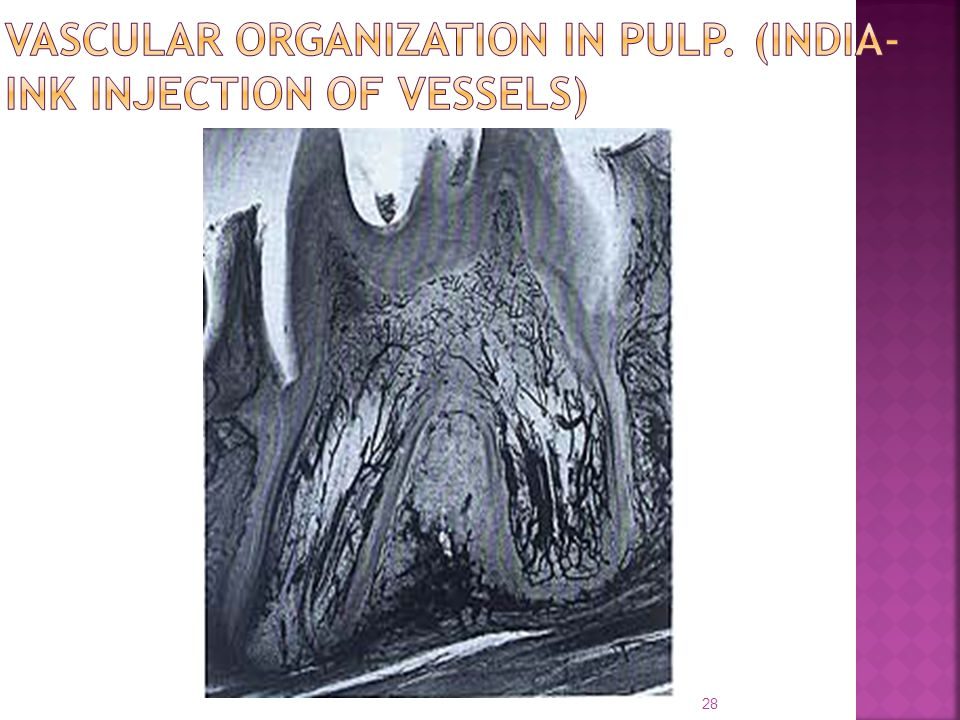 VASCULAR ORGANIZATION IN PULP. (INDIA-INK INJECTION OF VESSELS)