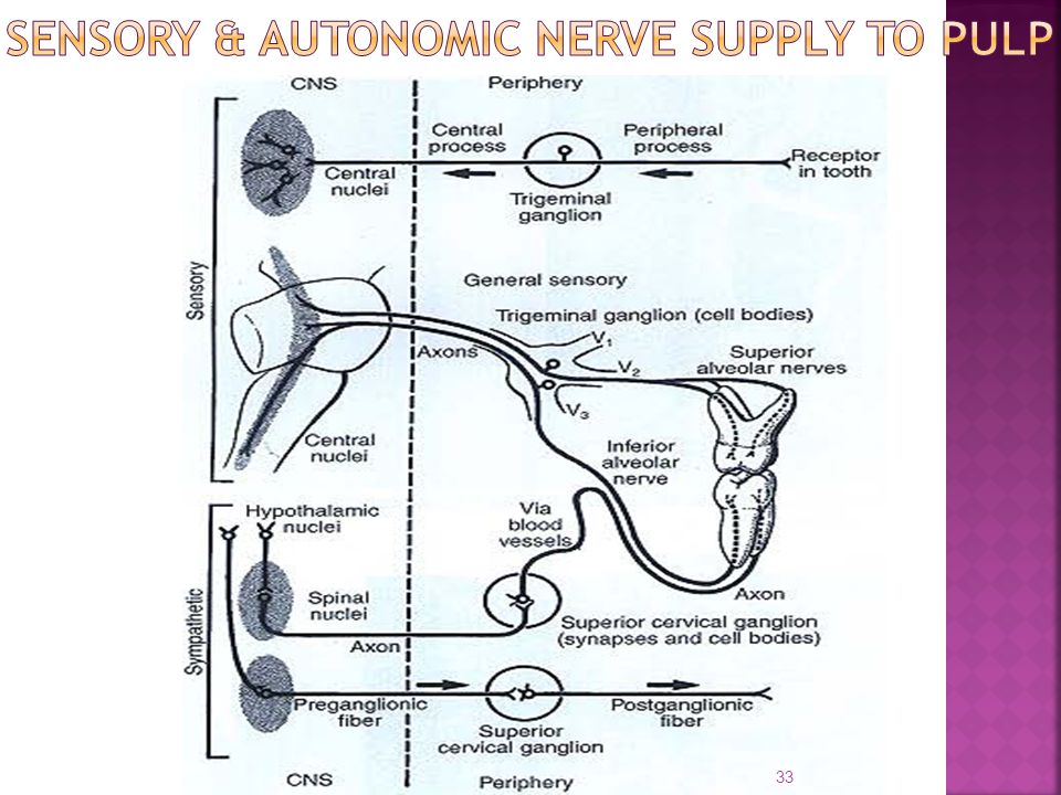 SENSORY & AUTONOMIC NERVE SUPPLY TO PULP