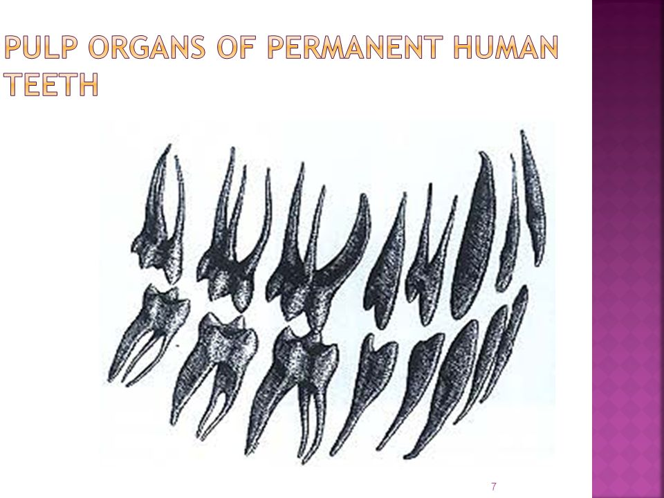 PULP ORGANS OF PERMANENT HUMAN TEETH