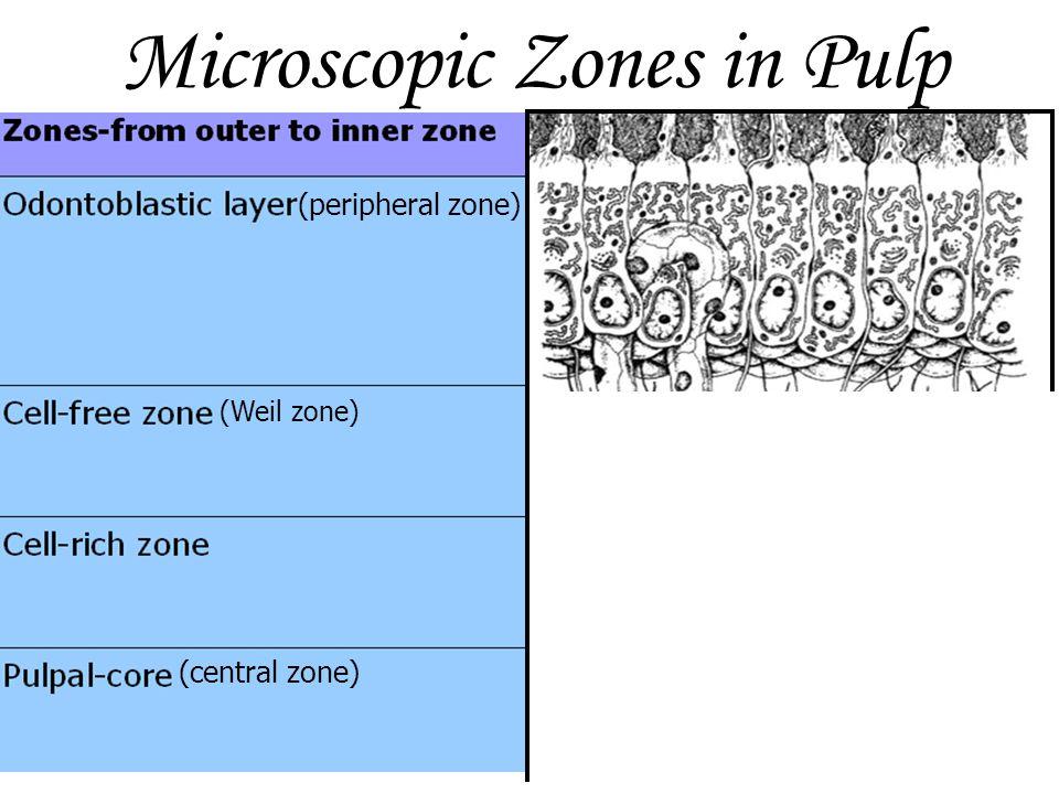 Microscopic Zones in Pulp