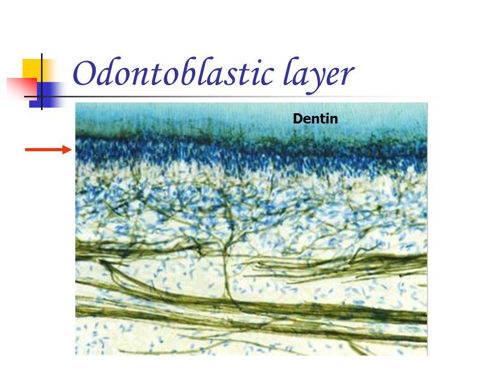 Odontoblastic layer Dentin