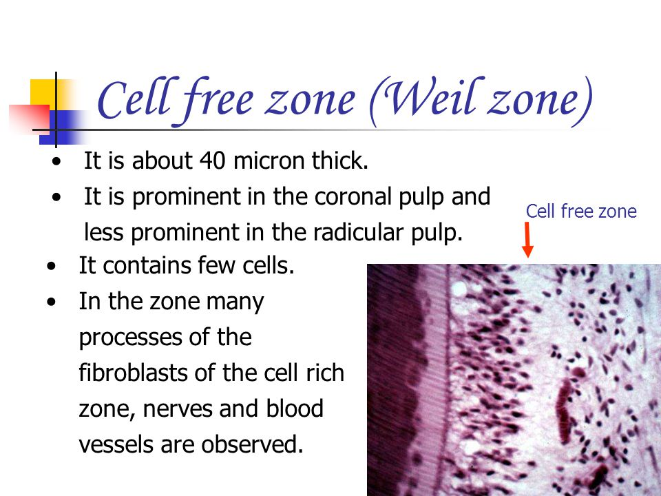 Cell free zone (Weil zone)