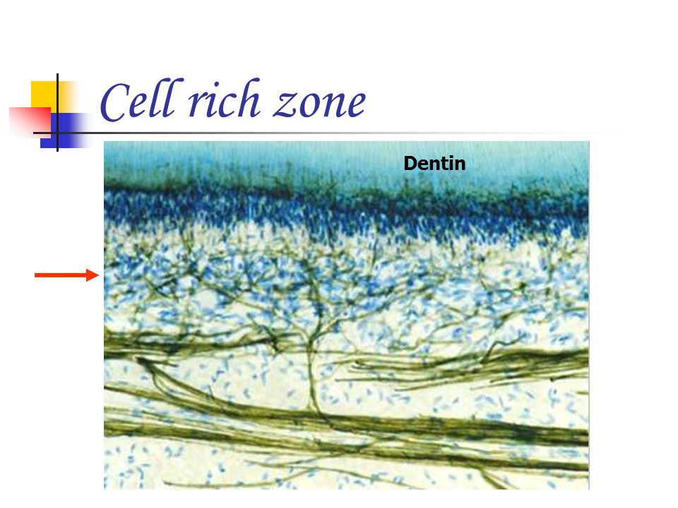 Cell rich zone Dentin