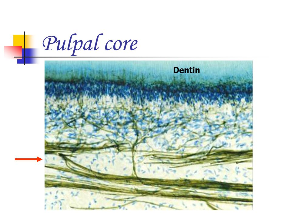 Pulpal core Dentin