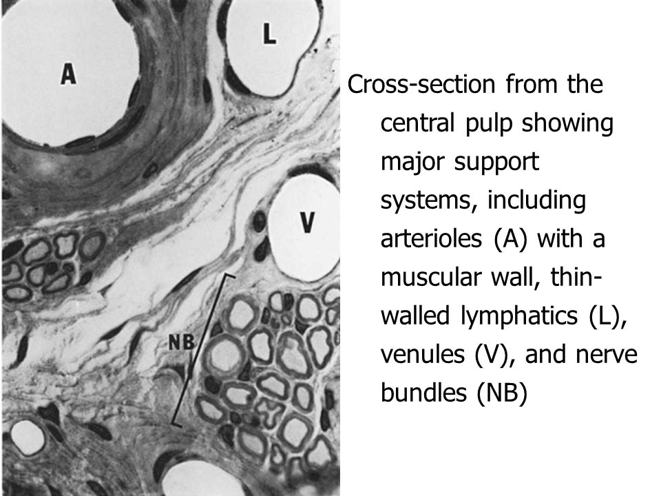 Cross-section from the central pulp showing major support systems, including arterioles (A) with a muscular wall, thin-walled lymphatics (L), venules (V), and nerve bundles (NB)