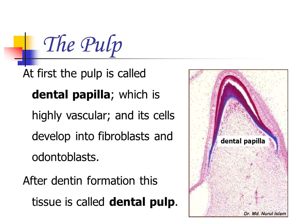 The Pulp At first the pulp is called dental papilla; which is highly vascular; and its cells develop into fibroblasts and odontoblasts.