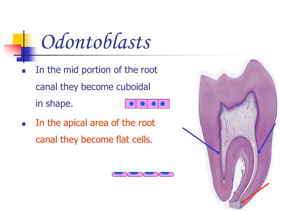 Odontoblasts In the mid portion of the root canal they become cuboidal in shape.
