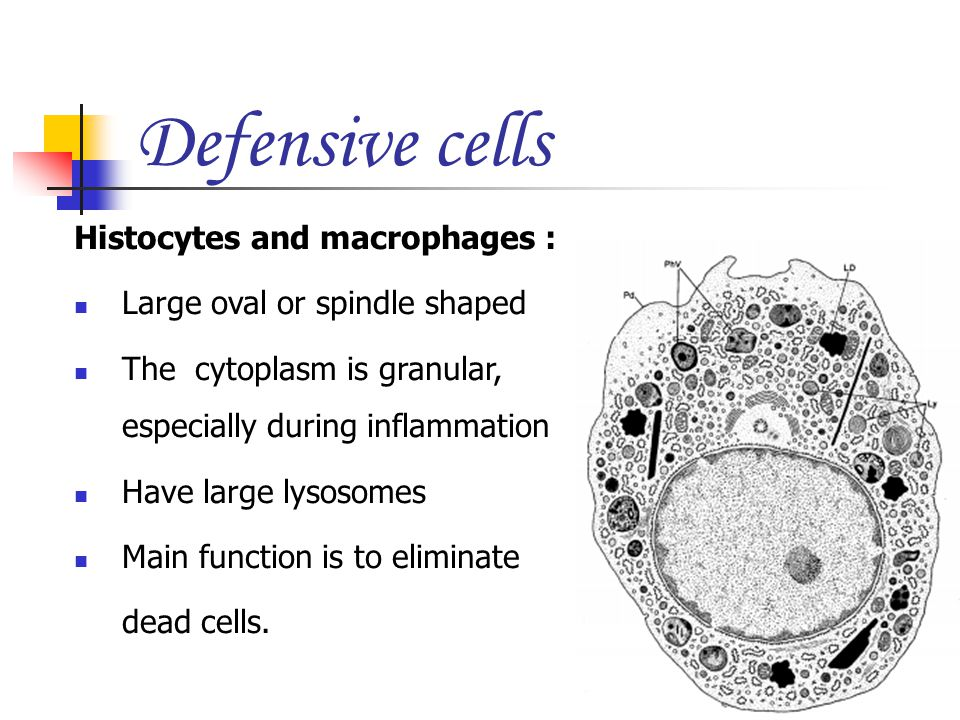 Defensive cells Histocytes and macrophages :