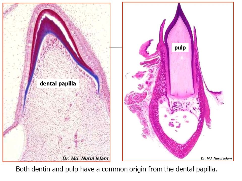 Both dentin and pulp have a common origin from the dental papilla.