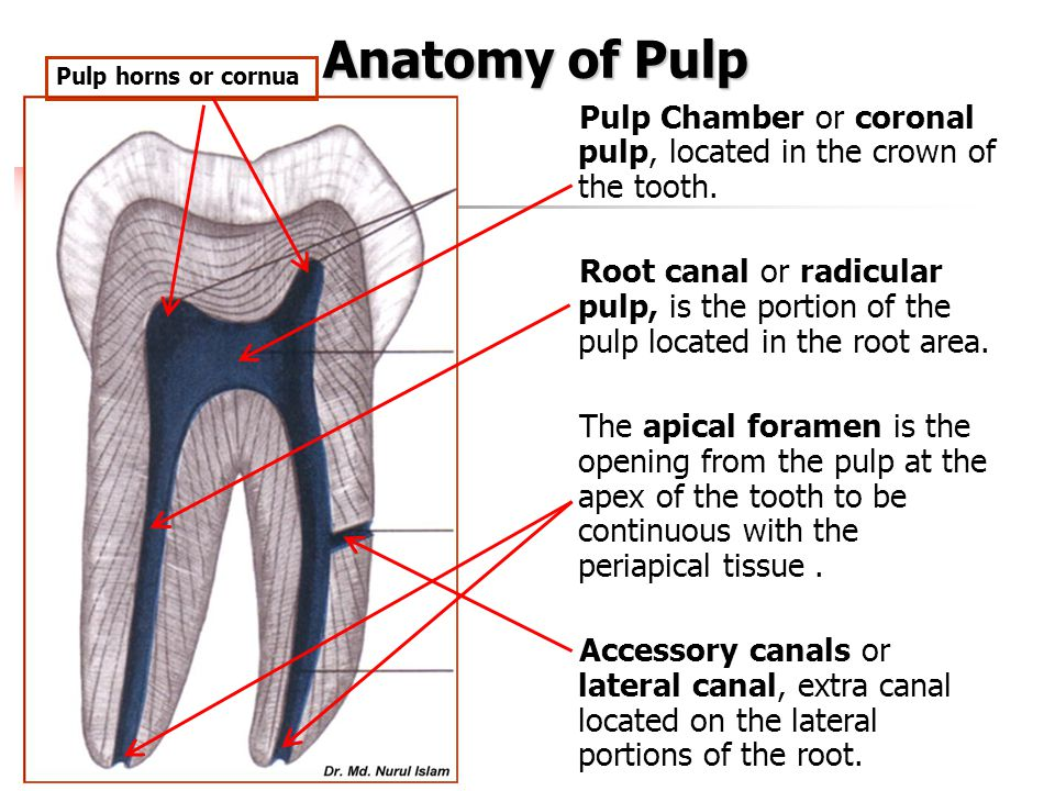 Anatomy of Pulp Pulp horns or cornua. Pulp Chamber or coronal pulp, located in the crown of the tooth.