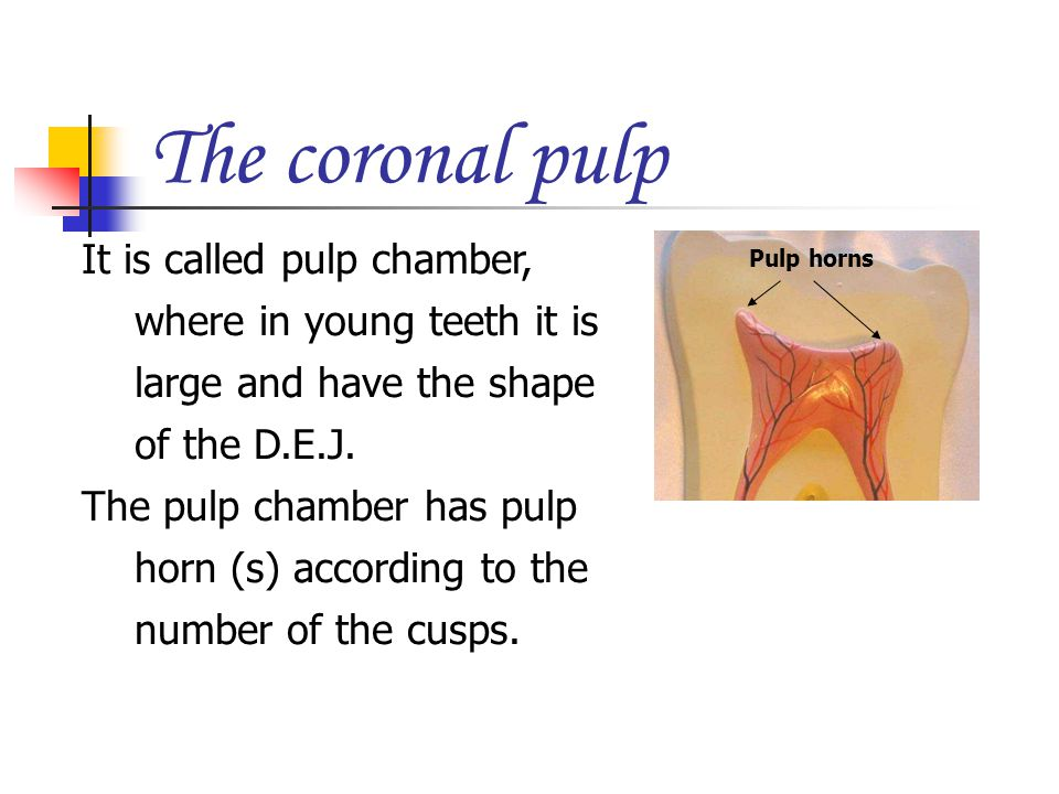 The coronal pulp It is called pulp chamber, where in young teeth it is large and have the shape of the D.E.J.