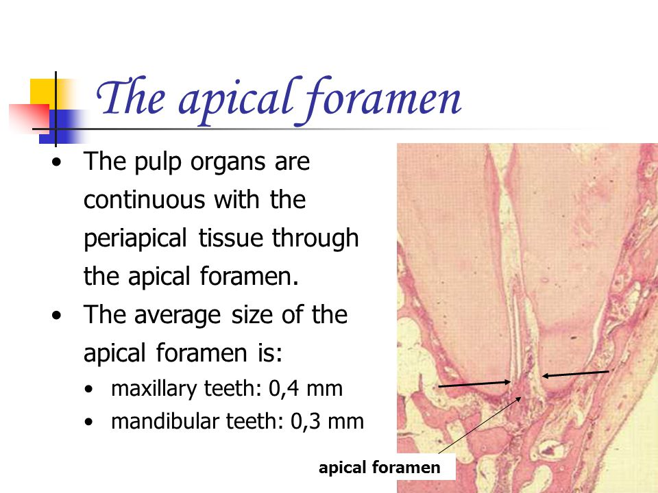 The apical foramen The pulp organs are continuous with the periapical tissue through the apical foramen.