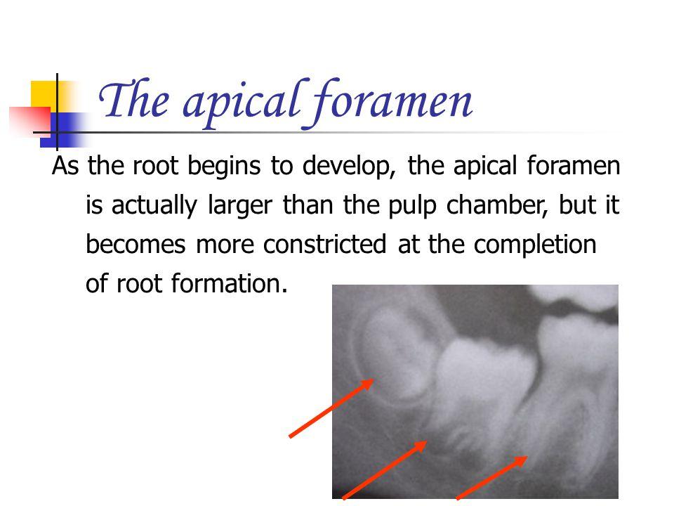 The apical foramen