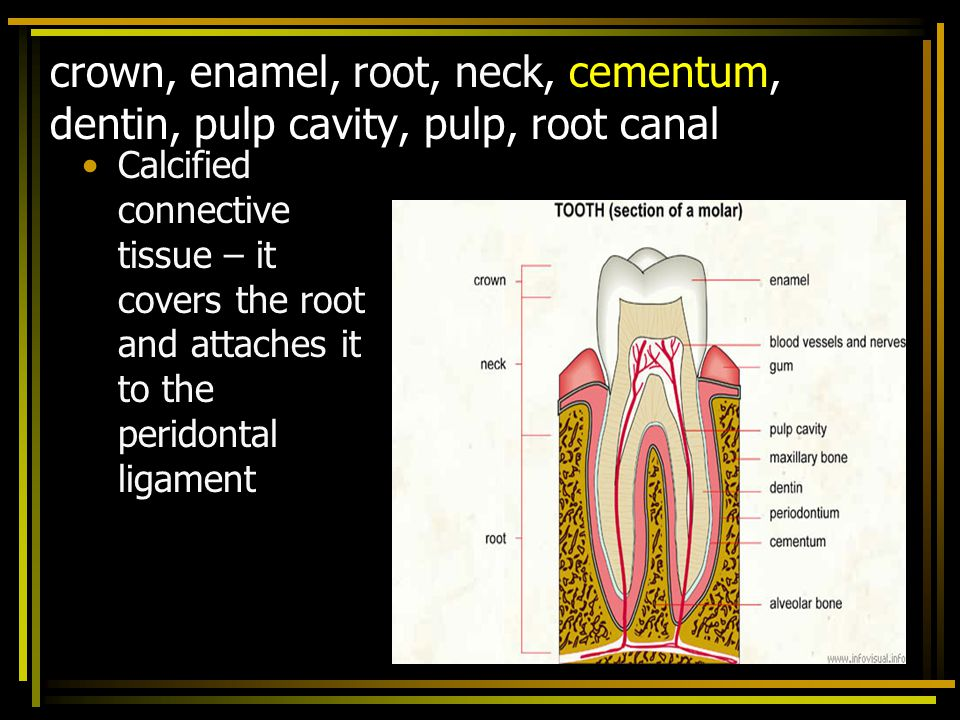 crown, enamel, root, neck, cementum, dentin, pulp cavity, pulp, root canal