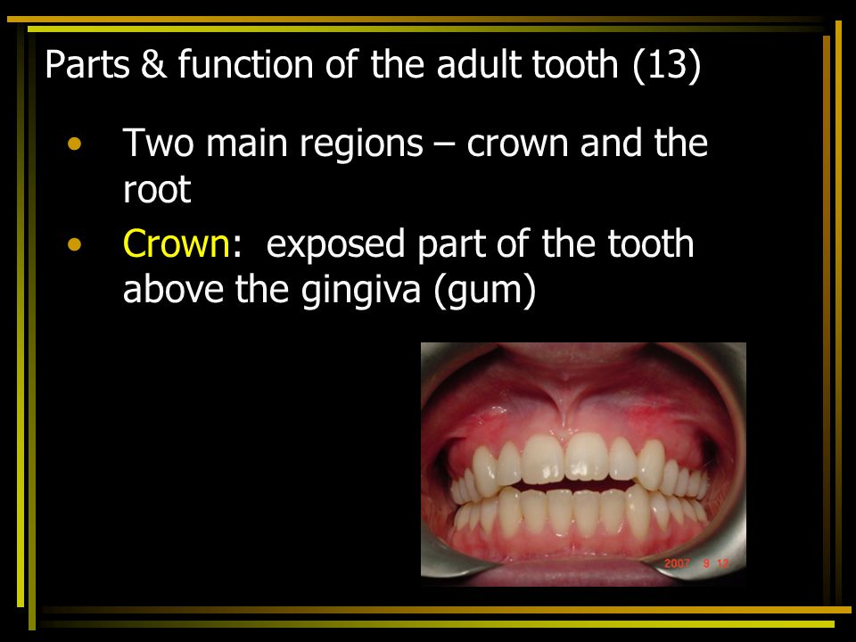 Parts & function of the adult tooth (13)