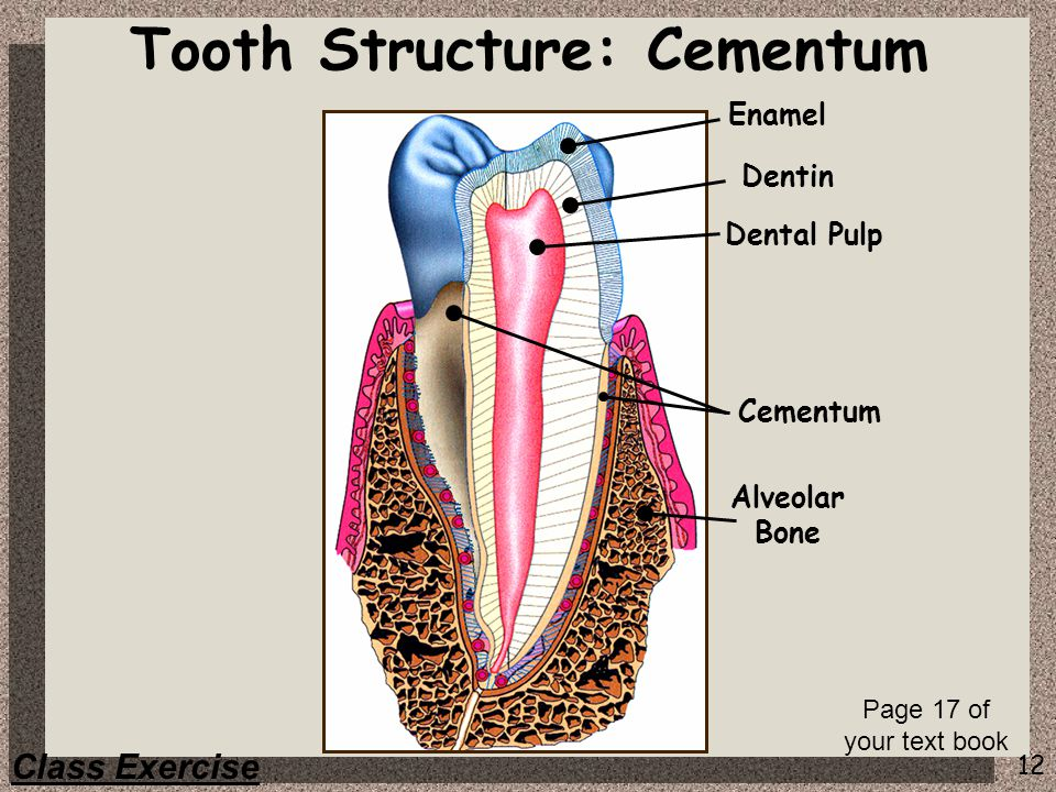 Tooth Structure: Cementum