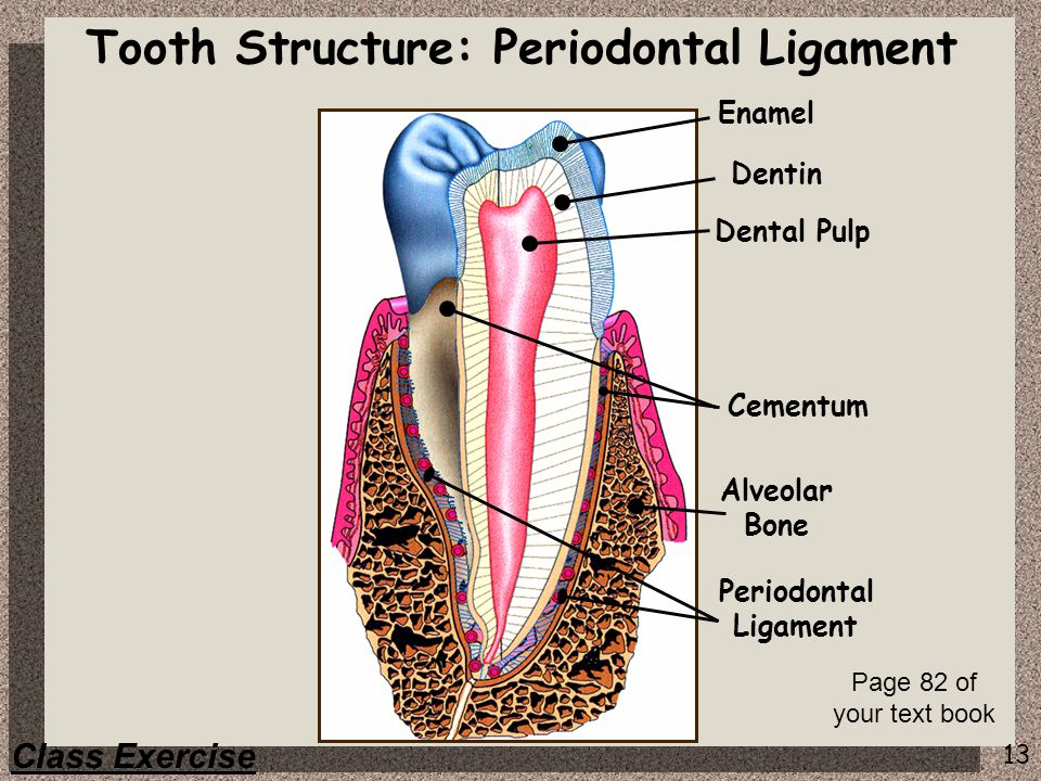 Tooth Structure: Periodontal Ligament