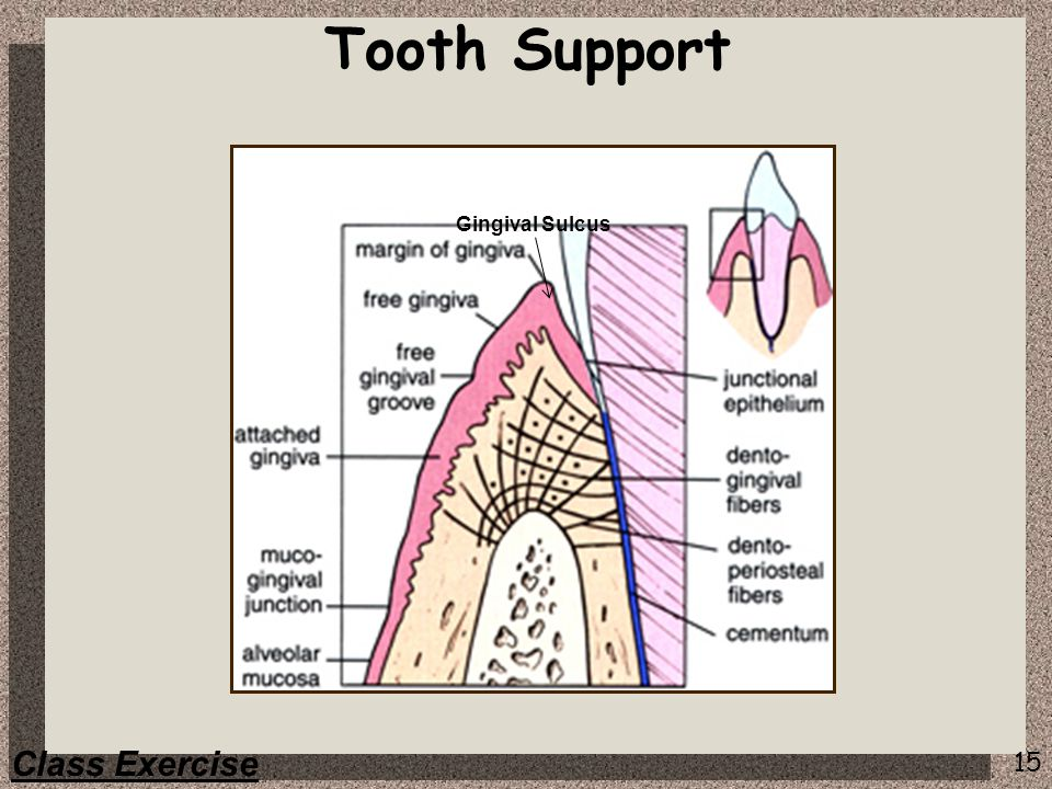 Tooth Support Gingival Sulcus Class Exercise
