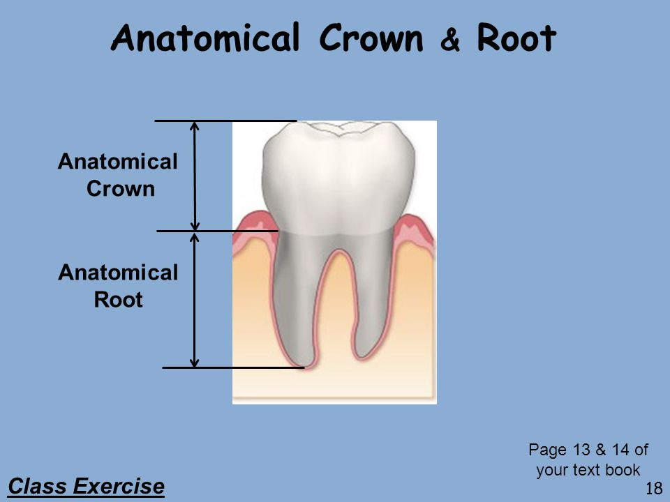 Anatomical Crown & Root