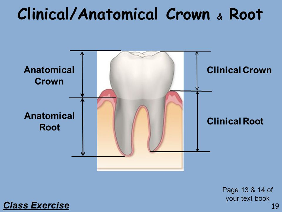 Clinical/Anatomical Crown & Root