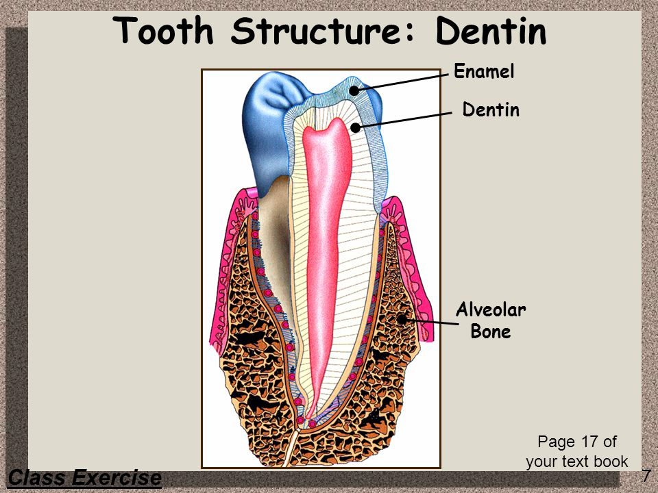Tooth Structure: Dentin