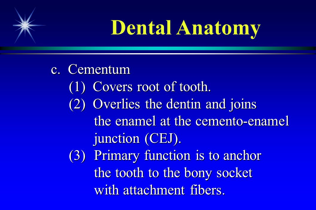 Dental Anatomy c. Cementum (1) Covers root of tooth.