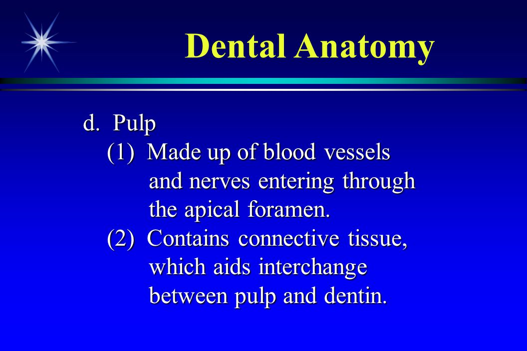 Dental Anatomy d. Pulp. (1) Made up of blood vessels and nerves entering through the apical foramen.