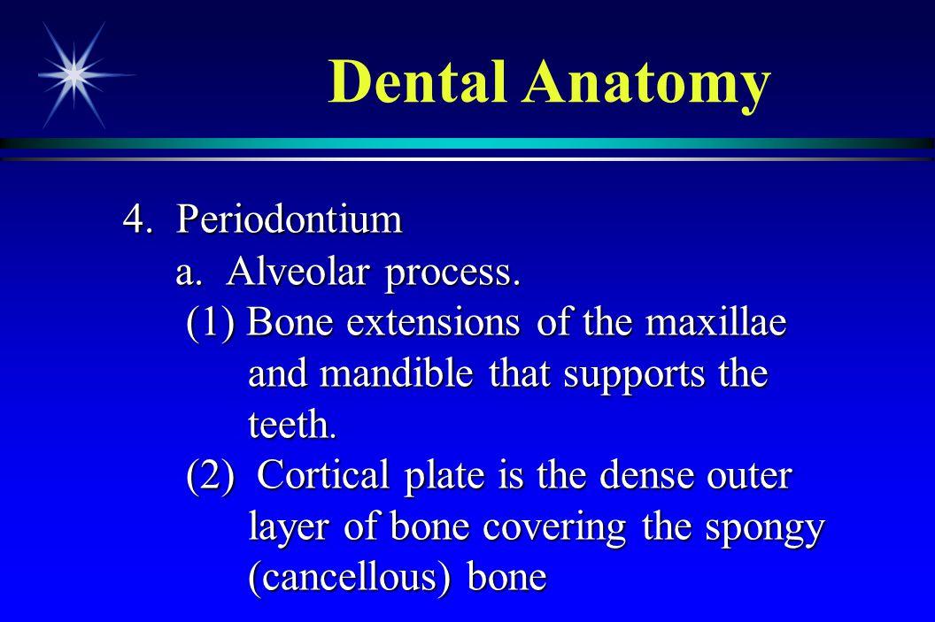 Dental Anatomy 4. Periodontium a. Alveolar process.