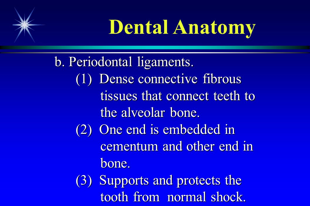 Dental Anatomy b. Periodontal ligaments.