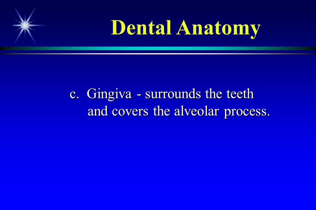 Dental Anatomy c. Gingiva - surrounds the teeth and covers the alveolar process.