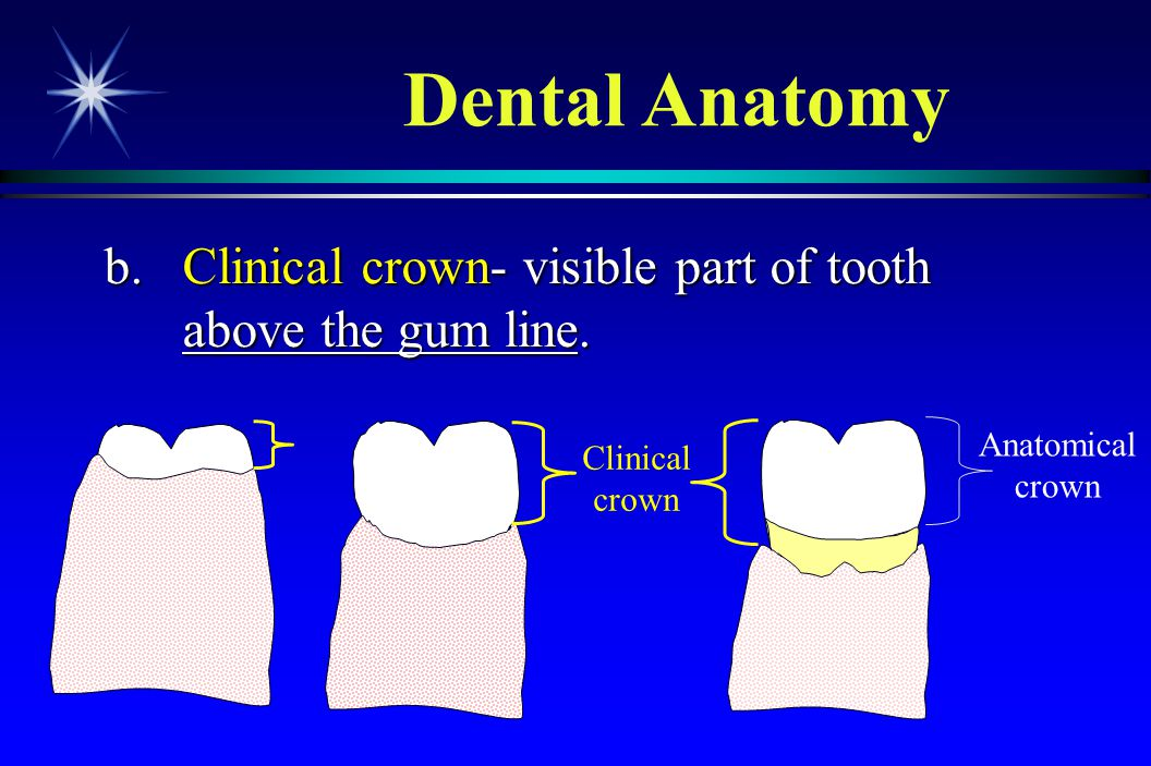 Dental Anatomy b. Clinical crown- visible part of tooth above the gum line.