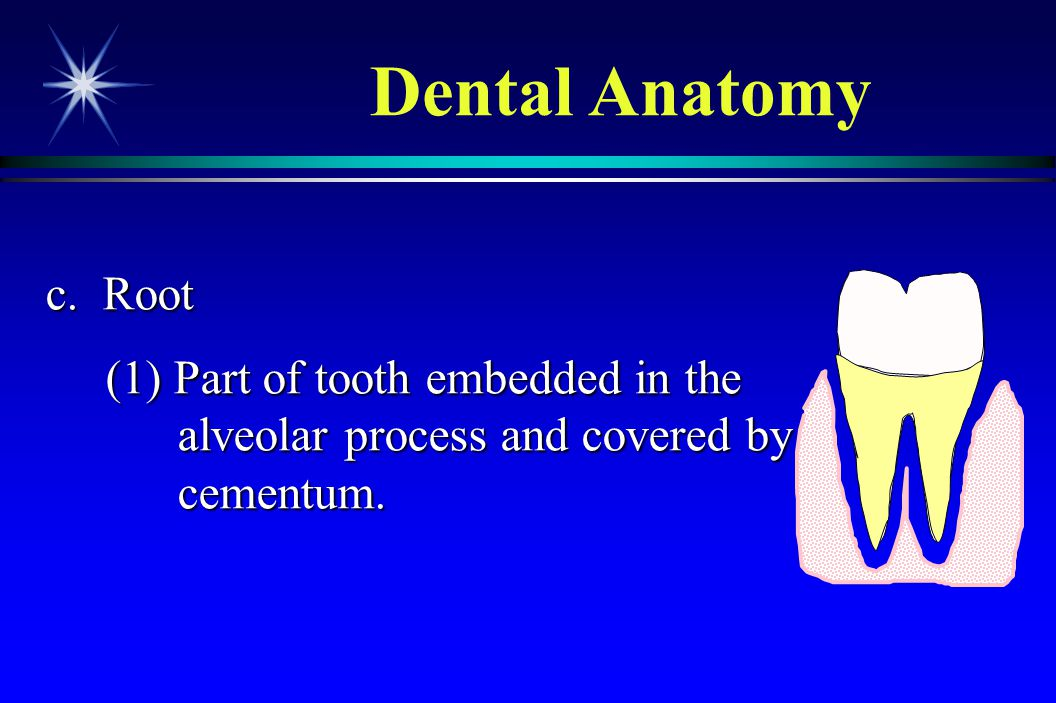 Dental Anatomy c. Root (1) Part of tooth embedded in the