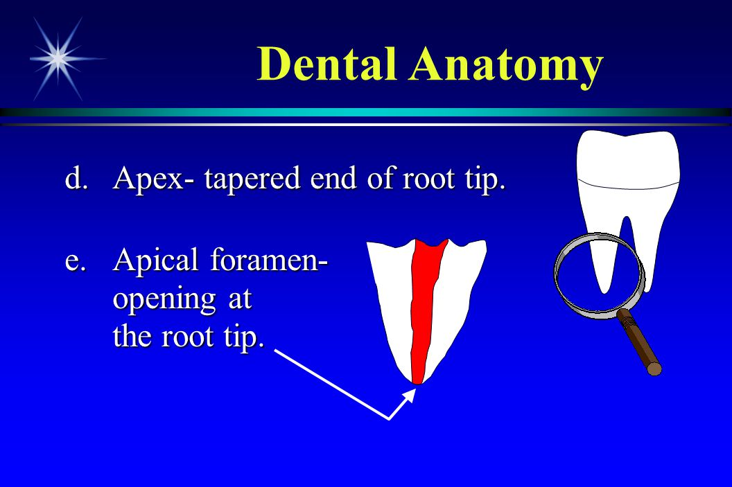 Dental Anatomy d. Apex- tapered end of root tip. e. Apical foramen-