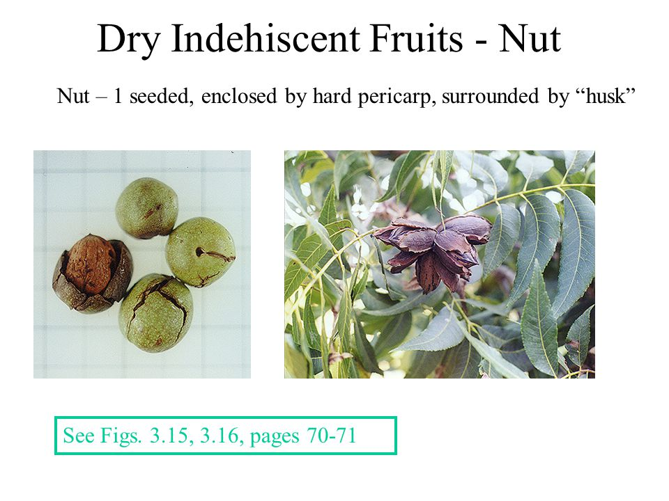 Dry Indehiscent Fruits - Nut